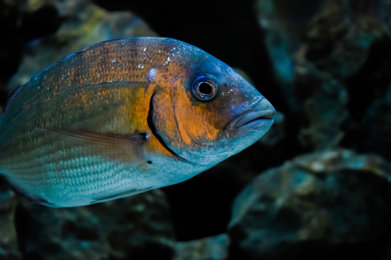 Researchers have discovered evidence of convergent evolution in fish throughout Australia.