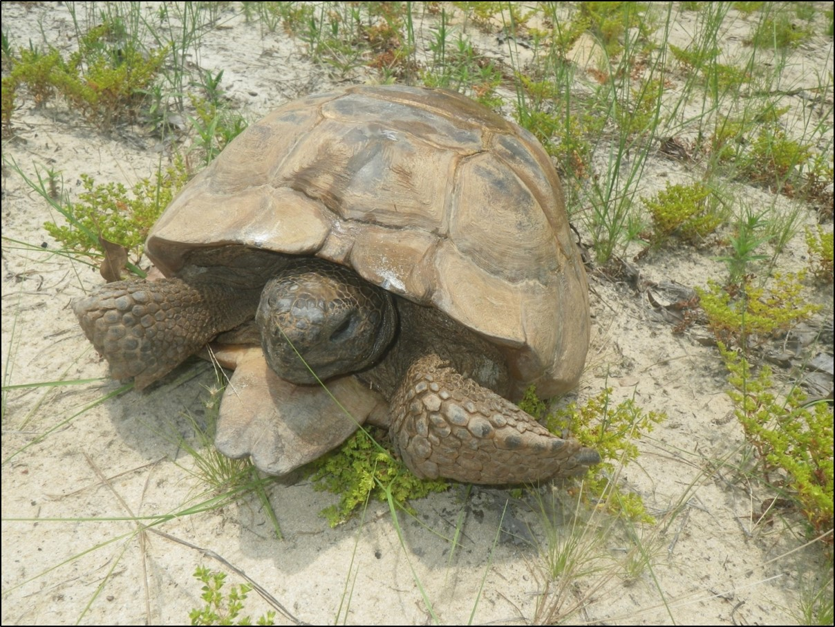 Head-starting is a proven method for gopher tortoise conservation, but can we make it more effective?