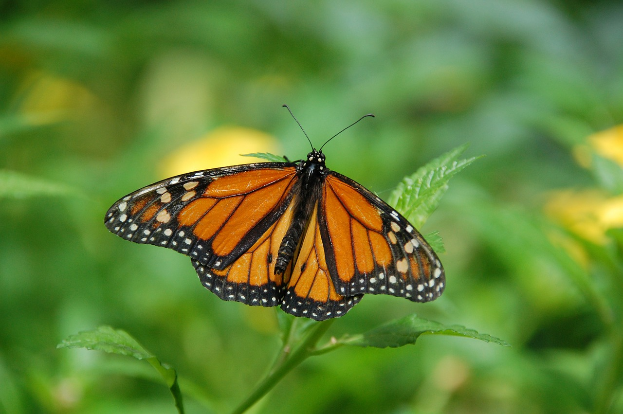Monarch butterflies are in some trouble, and the time to act is now.