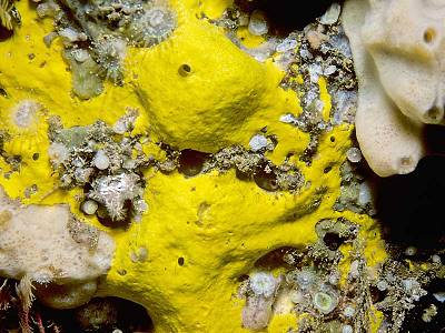 A sponge from the genus Spongosorites - Habitas.org.uk