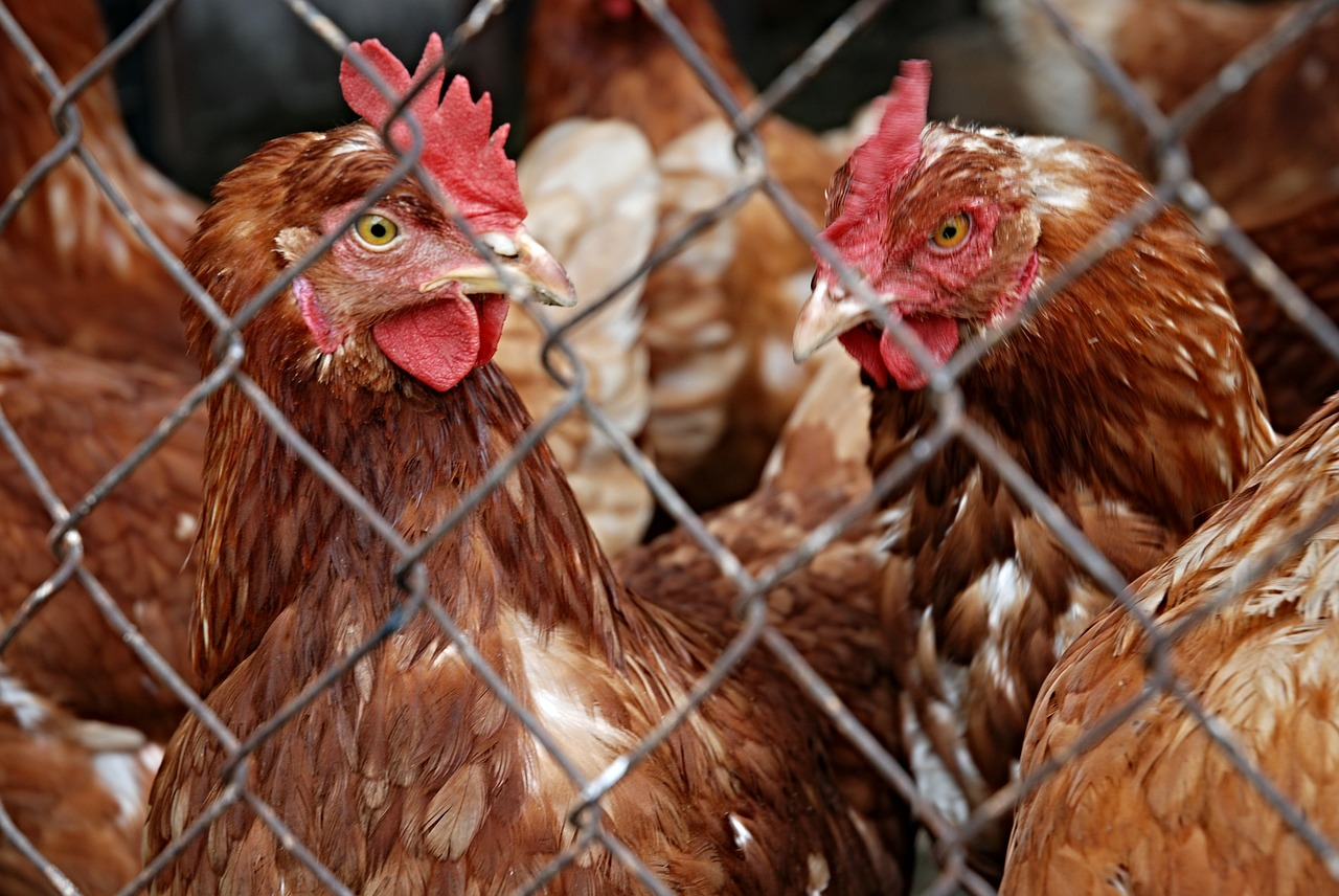 Bird flu problems forced the English government to place restrictions on poultry to prevent the spread of the disease, but as risk declines, the government is overturning those restrictions.