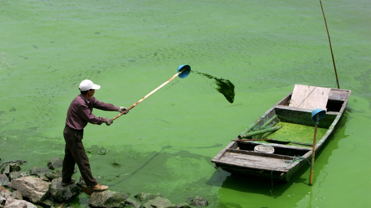 A man stands on the shore of a lake taken over by a cyanobacteria bloom. Photo: CBC.ca