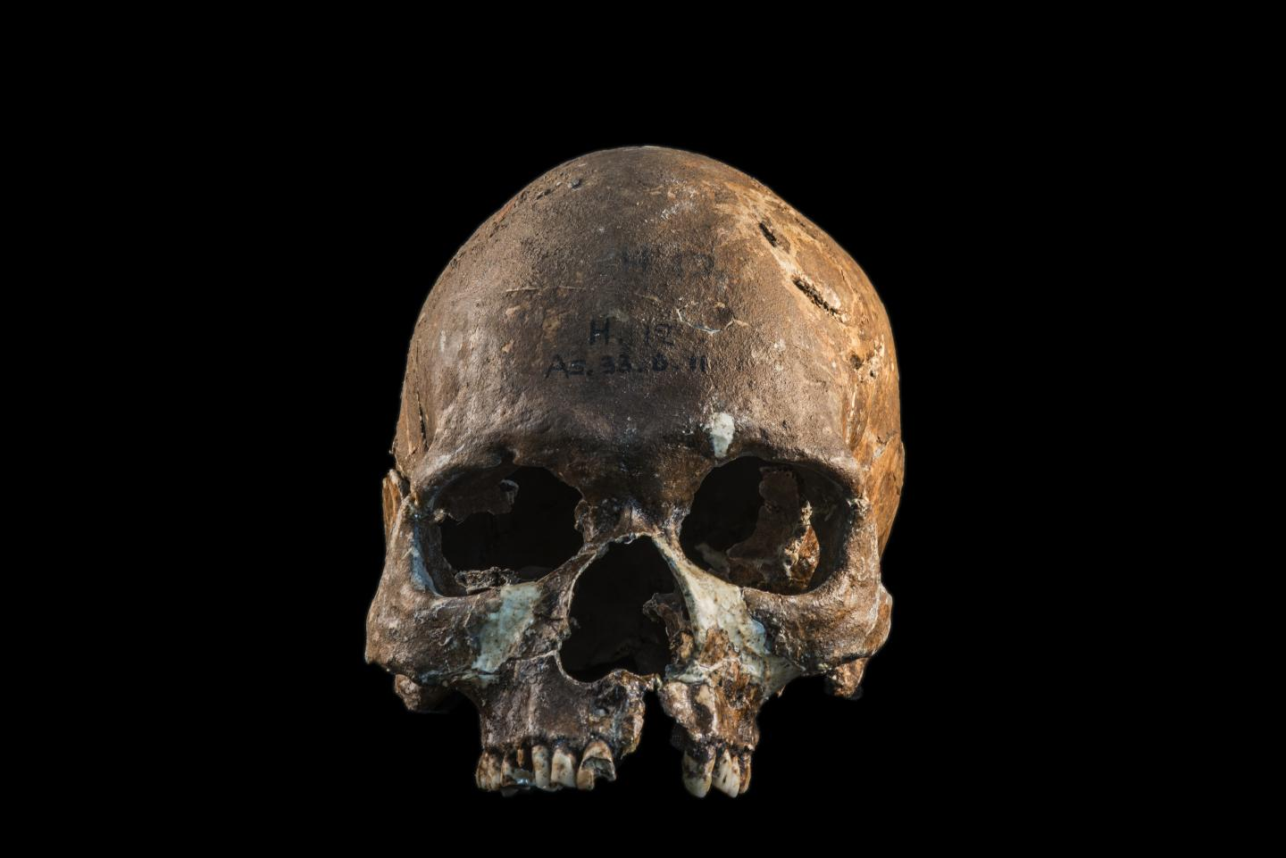 Skull from a Hòabìnhian person from Gua Cha archaeological site, Malaysian Peninsula. / Credit: Fabio Lahr