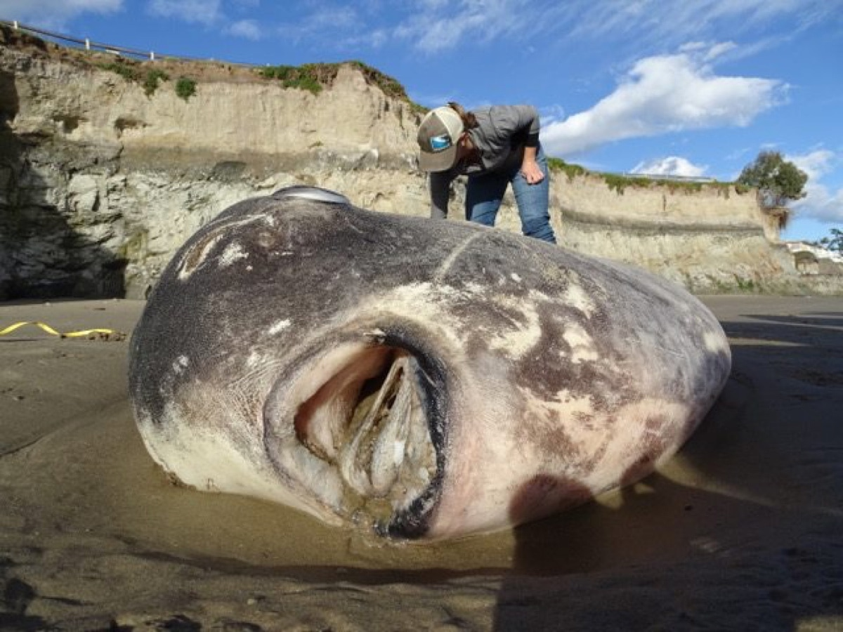 This is the hoodwinker sunfish that washed up in California last week.