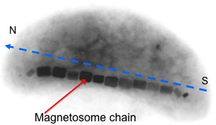 Magnetococcus contains magnetosomes.