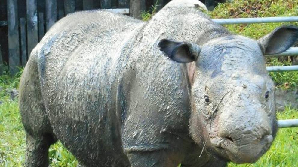 An image of a Sumatran Rhinoceros.