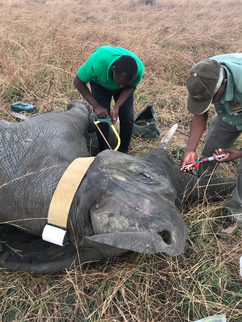 Experts install a satellite-trackable collar on the neck of a sedated elephant.