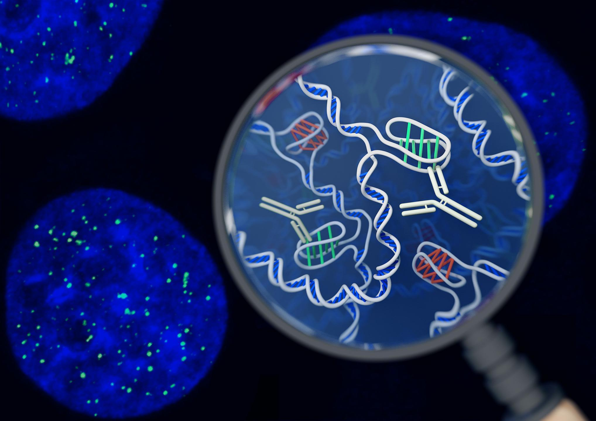 This is an artist's impression of the i-motif DNA structure inside cells, along with the antibody-based tool used to detect it.  / Credit: Chris Hammang