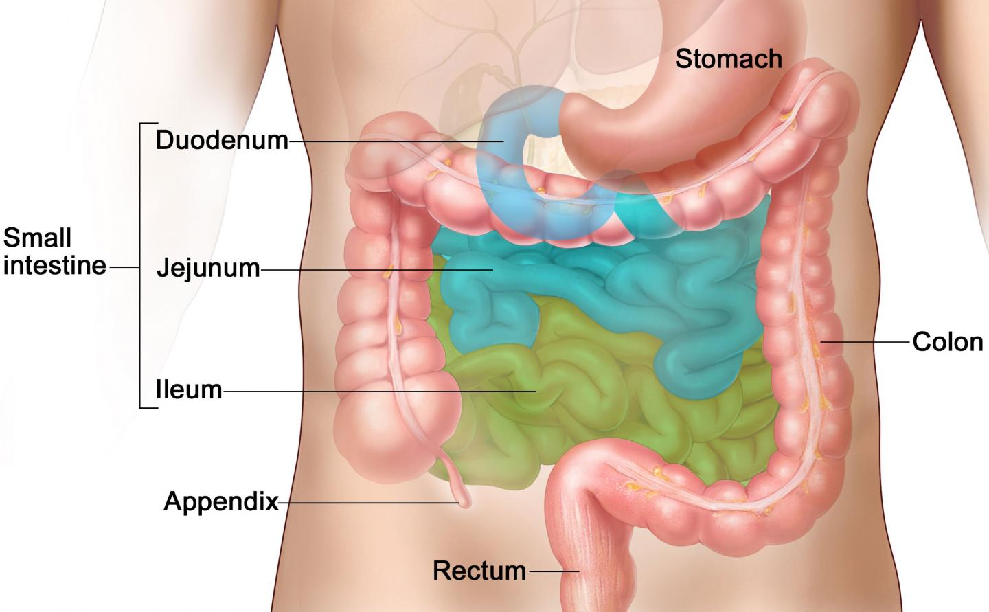 Mouse Intestine Diagram Free Wiring Diagram For You