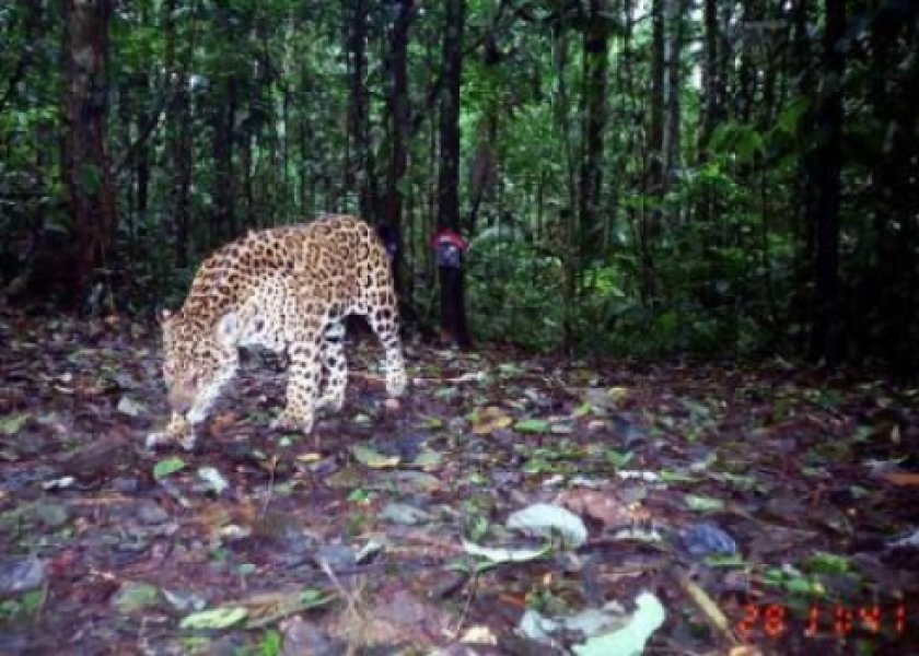 A jaguar recently captured in a camera trap in Ecuador. Photo: ScienceDaily