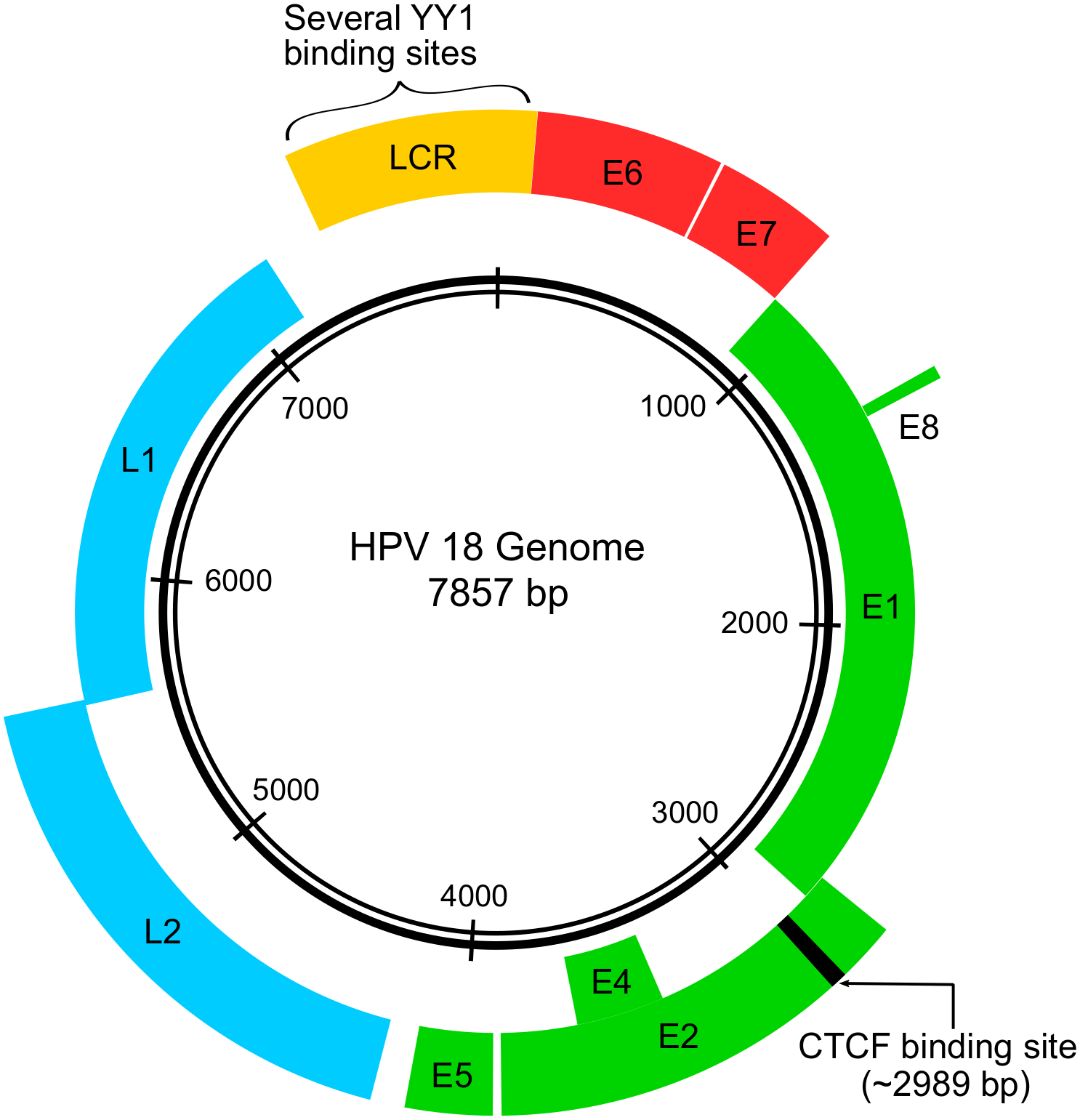 Representation of HPV genome, showing the E6 and E7 genes in red as well as the binding sites for YY1 and CTCF proteins.