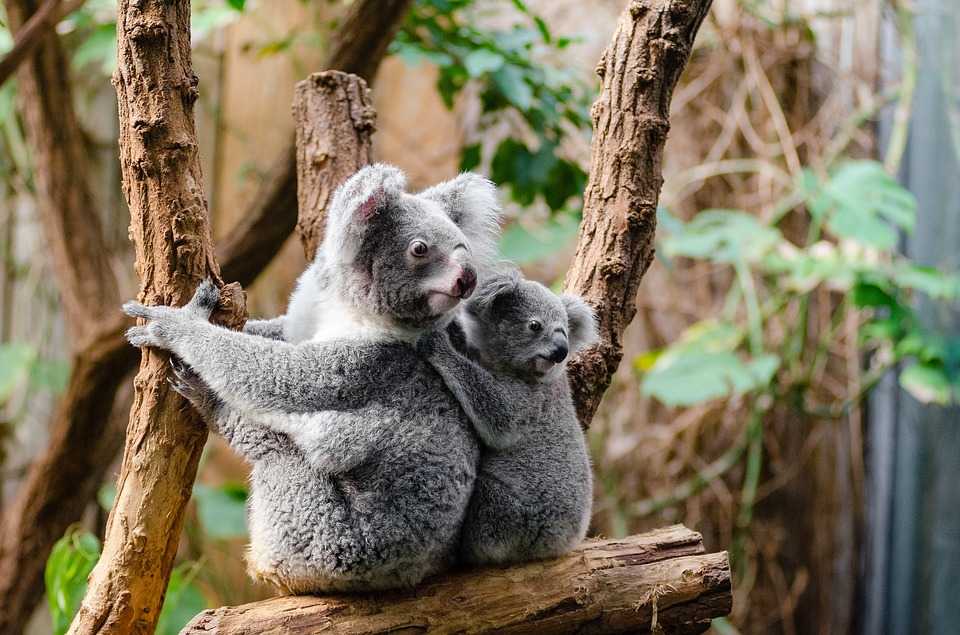 Drones might be able to spot koalas more effectively than people can.
