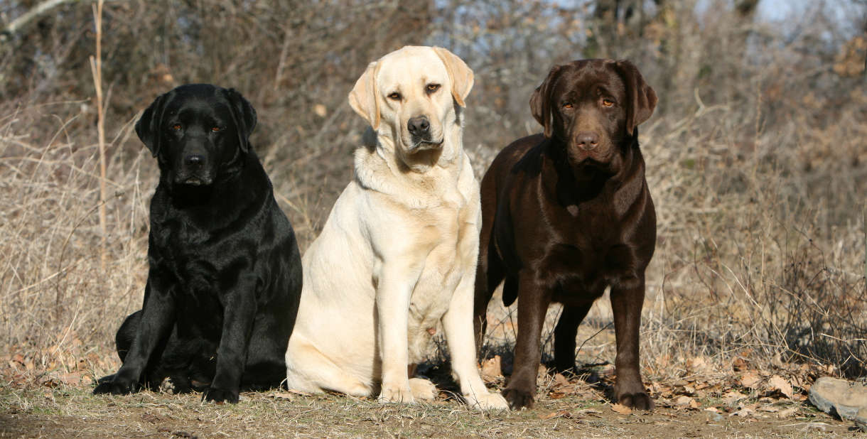 Labrador Color Inheritance Weimaraner Cachorro Imagenes Perritos Con