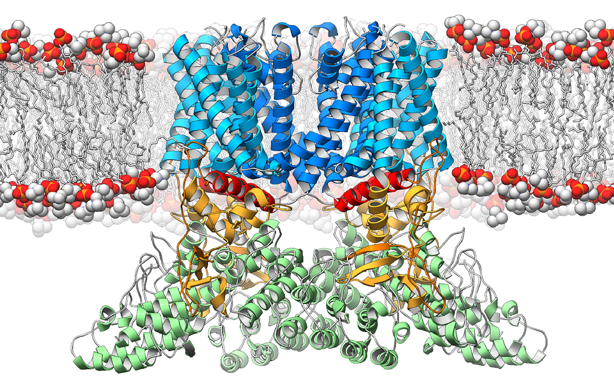 A new study from The Scripps Research Institute (TSRI) and the Duke University Medical Center reveals the three-dimensional structure of a crucial ion channel, shedding light on its role in the immune system.