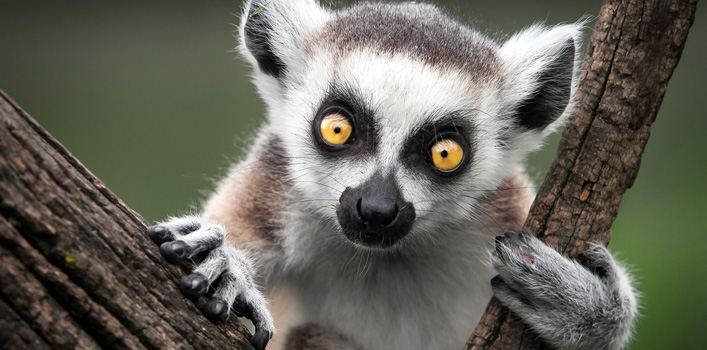 Female lemurs that exhibit trichromacy may increase the survival odds of their young and the rest of their group.
