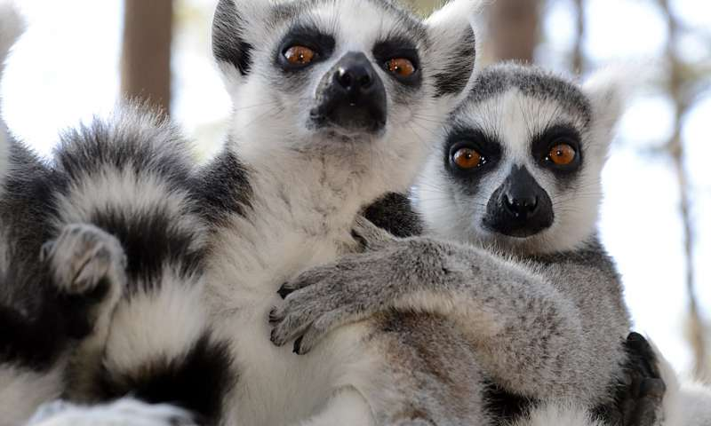 Lemurs can smell weakness in their peers.