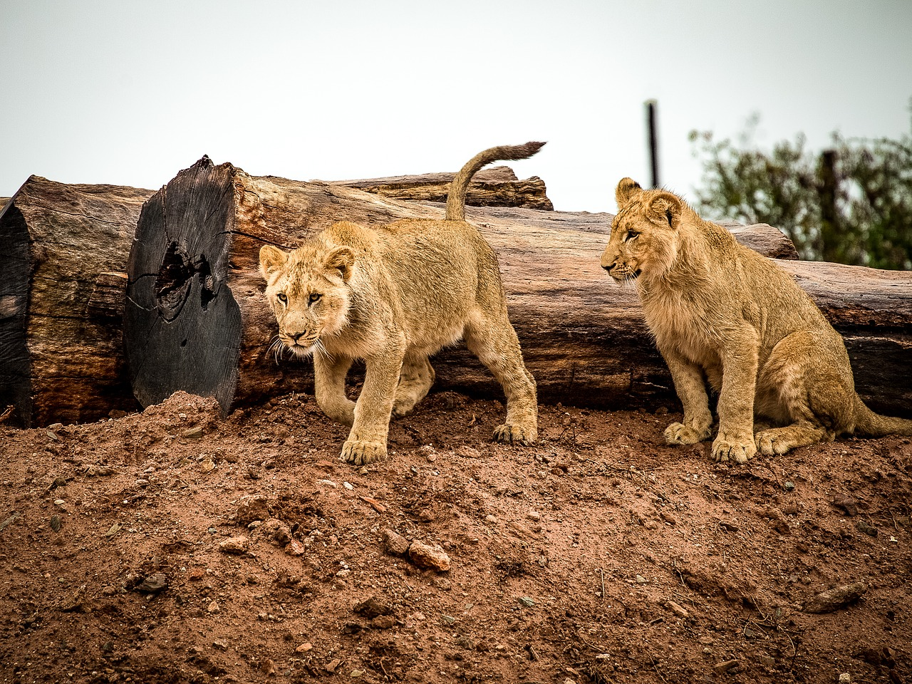 Lions are often hunted illegally in South Africa for their valuable bones and pelts.