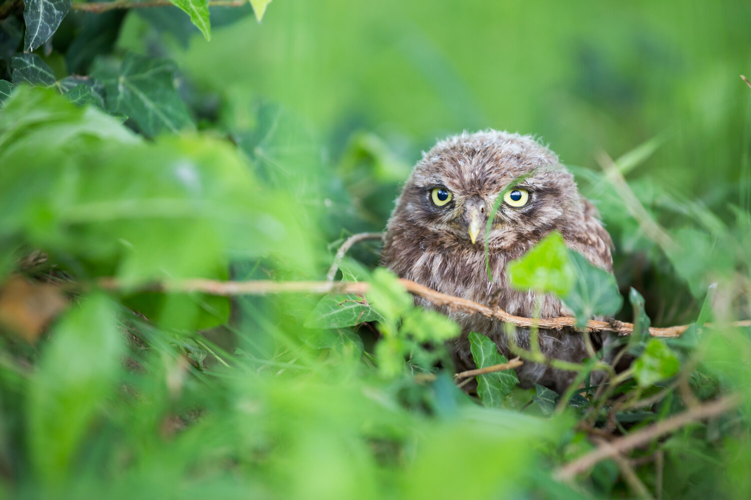 A 'little owl' in its natural habitat.