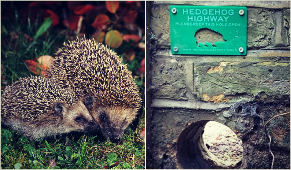 hedgehog and Hedgehog Highway, credit: public domain (1), Hedgehog Street (2)
