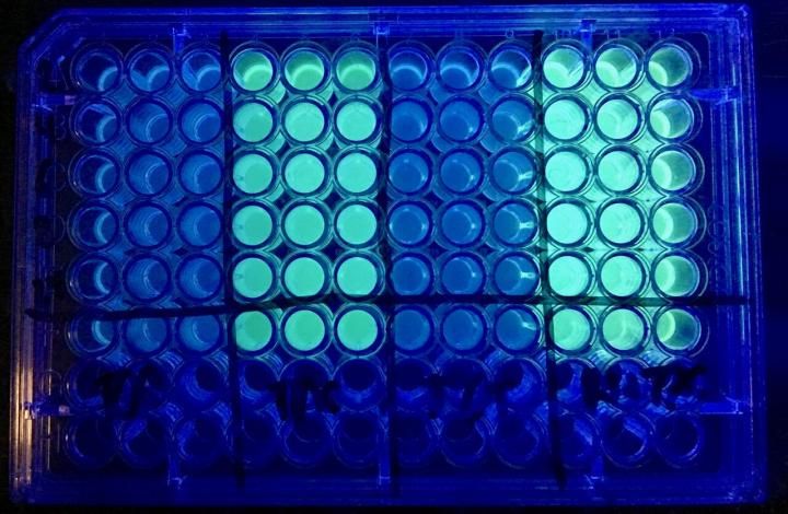 This is a comparison of the cystic fibrosis bacteria, which becomes a green color under fluorescent light, shown before and after treatment. Far right column -- untreated bacteria. Second column -- bacteria treated with tobramycin alone showing some of the bacteria still remaining. Third column -- bacteria treated with triclosan alone showing the majority of the bacteria still remaining. Far left column -- bacteria treated with tobramycin and triclosan showing the effectiveness of the combination treatment. / Credit: Michigan State University