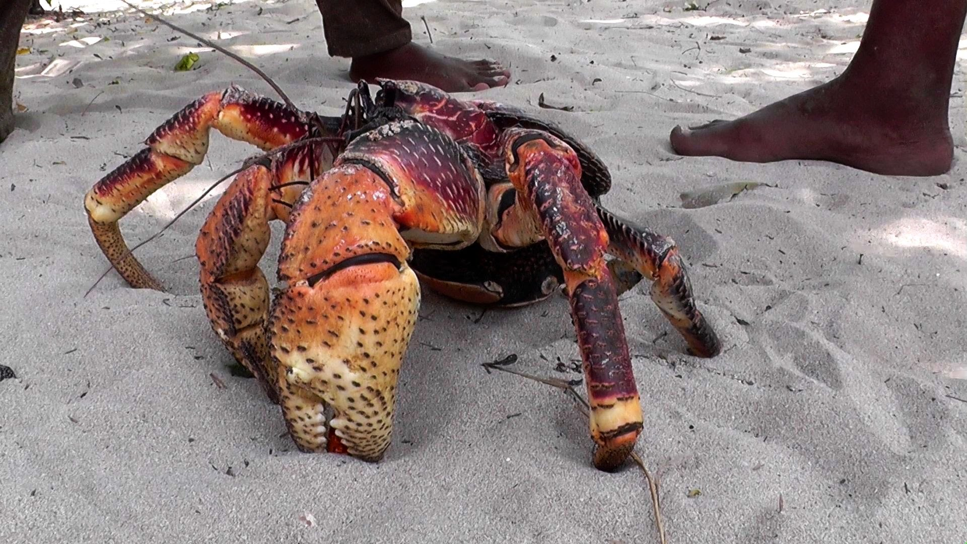The coconut crab has an incredibly powerful claw.