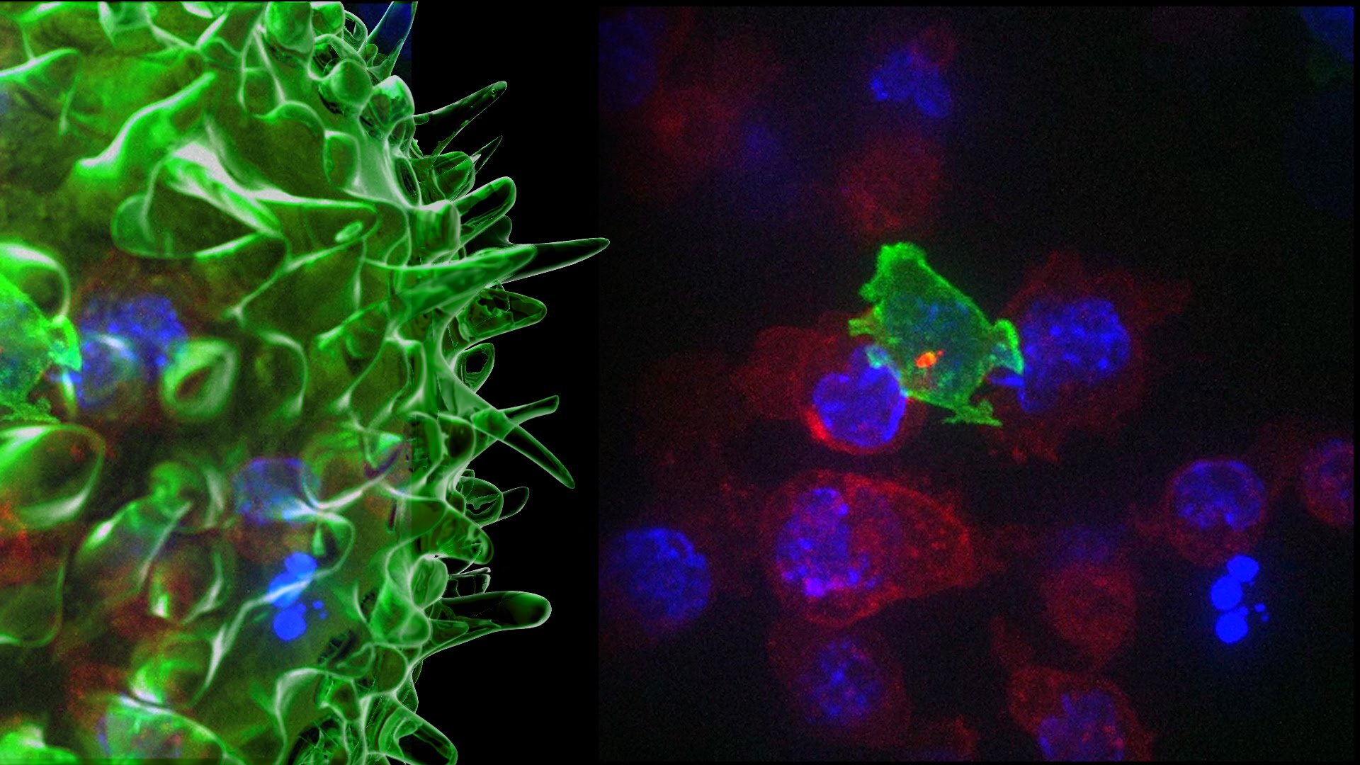 "The Cytotoxic T Cell AKA The ""Cancer Assassin."" Credit: University of Cambridge"
