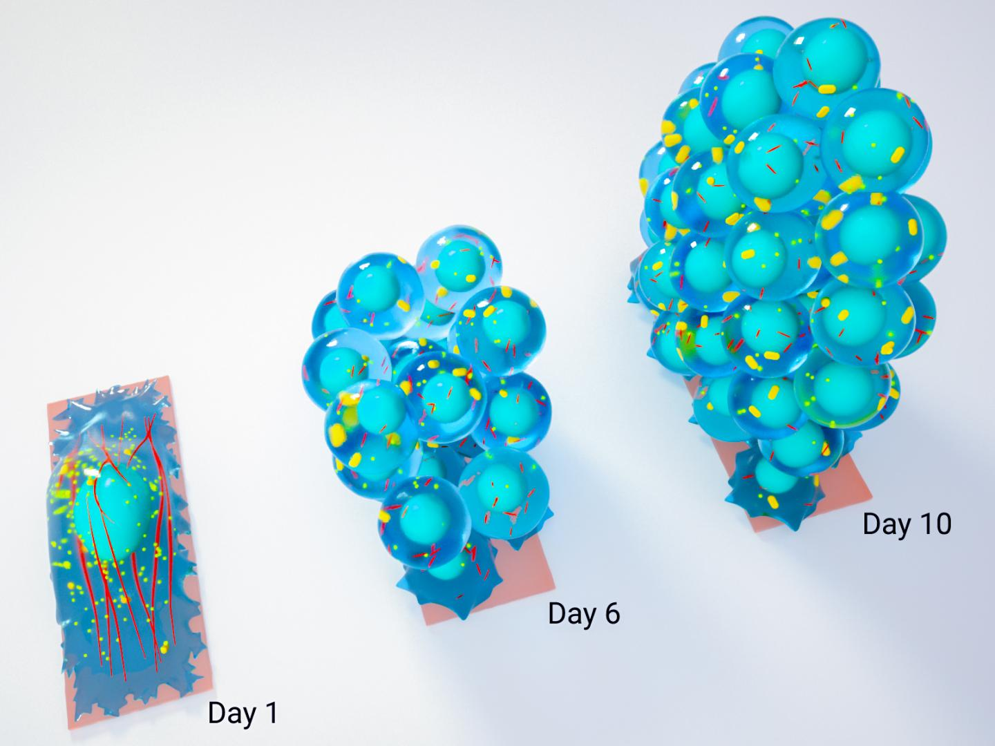 A schematic showing the growth of a spherical cluster of stem cells from a mature cell on a confined substrate. / Credit: Mechanobiology Institute