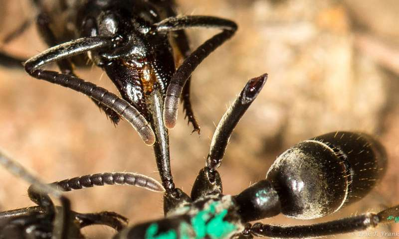 An ant providing medical care to another by way of wound-licking.