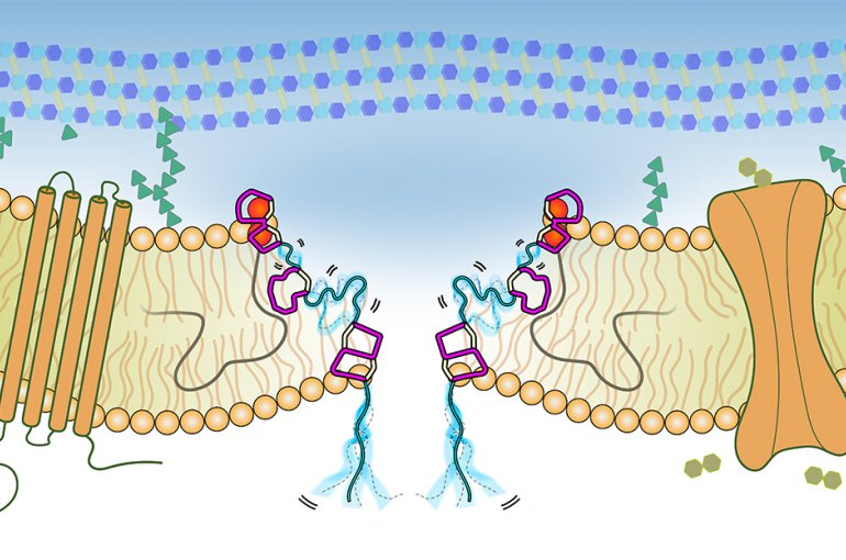 Illustration of the pore-complex formed by Lipid II and the antimicrobial peptide nisin. In cyan, flexible linker regions of nisin are highlighted that enable nisin to optimally adapt its conformation to complex bacterial cell membranes. / Credit: Utretch University