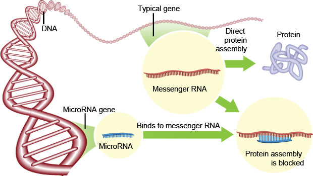 miRNAs effectively silence gene expression.