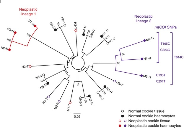 A phylogenetic tree from the Nature paper showing neoplastic genotypes did not group with host tissue genotypes, consistent with transmissible cancer, instead clustering into two distinct branches, suggesting two independent cancer lineages