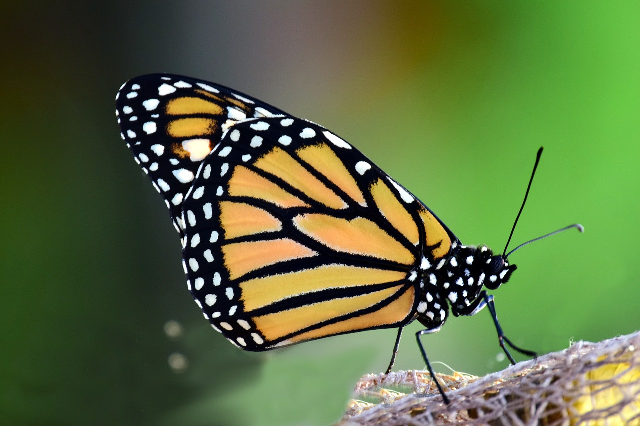 A monarch butterfly in its natural habitat.