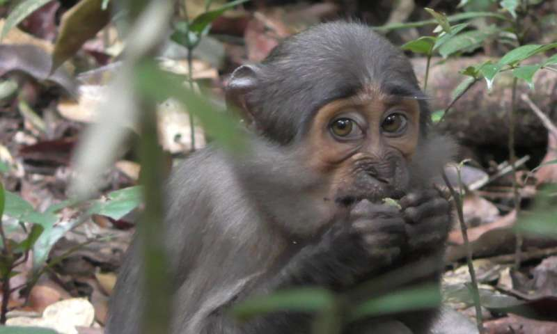A wild mangabey monkey feasts on some nut remnants.