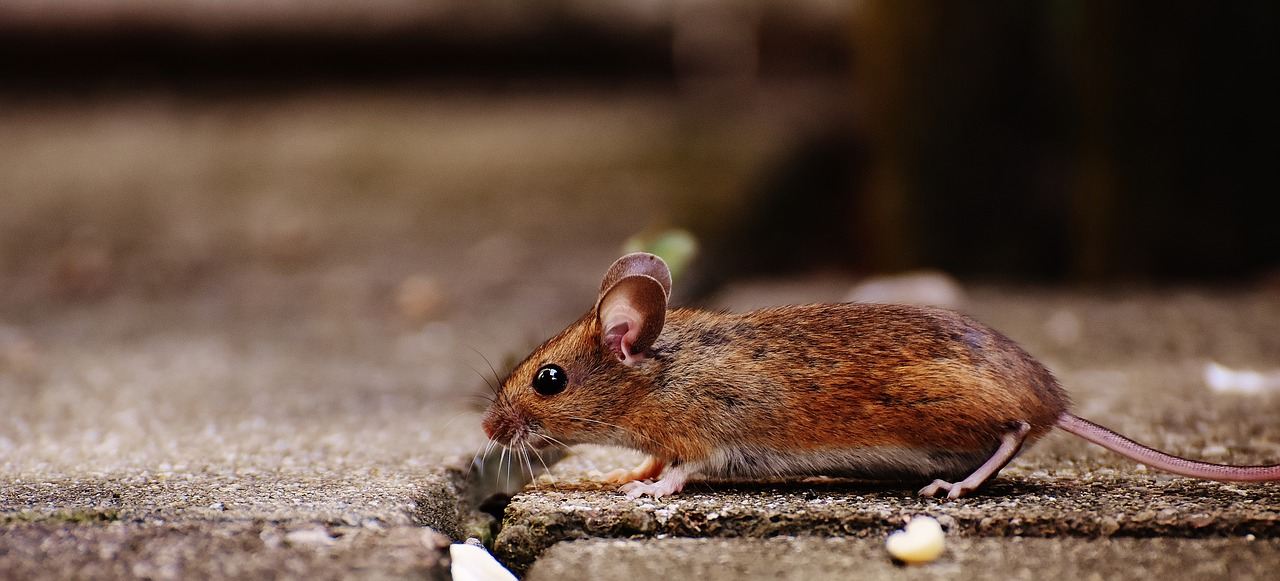The house mouse reportedly came about after humans started to settle in homes and store their food inside of them.