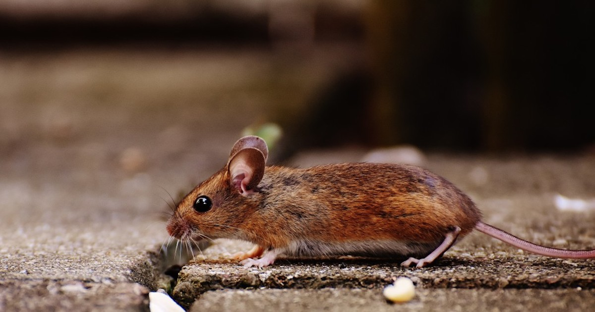 Wild mouse / Credit: Pxhere