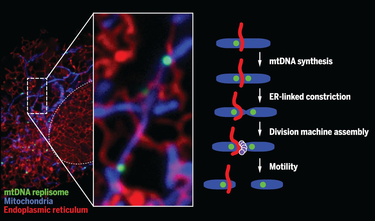 ER-mitochondria contacts coordinate mtDNA replication with mitochondrial division. In human cells, a subset of ER-mitochondria contacts are spatially linked to mitochondrial nucleoids engaged in replication and are destined for mitochondrial division./ Credit: Science, Lewis et al