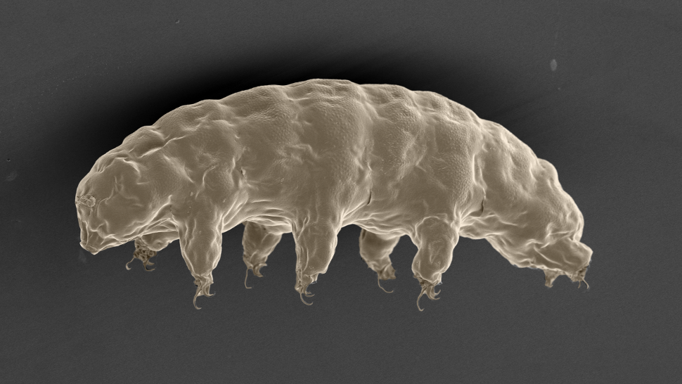 "A scanning electron microscope image of a tardigrade, also known as a ""sea bear."""