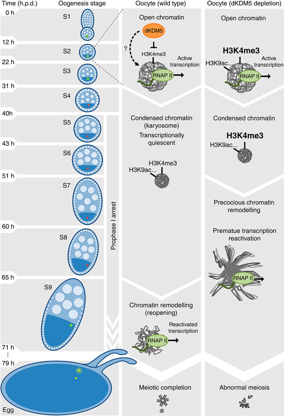 From the researchers: Proposed model for the epigenetic regulation of prophase I chromosome activity. The histone demethylase dKDM5 programs the oocyte chromatin state during early oogenesis, through its actions on H3K4me3 and other epigenetic modifications such as H3K9ac. Once programmed, the dKDM5-dependent oocyte epigenome temporally controls, several hours afterwards in late prophase I, the onset of transcription and meiotic chromosome remodeling. Ultimately, the germ line-specific activity of dKDM5 is required for successful completion of meiosis and female fertility. Development time in relation to the start of oogenesis is expressed in hours post-germ line stem cell division (h.p.d.). / Credit Nature Communications Navarro-Costa et al