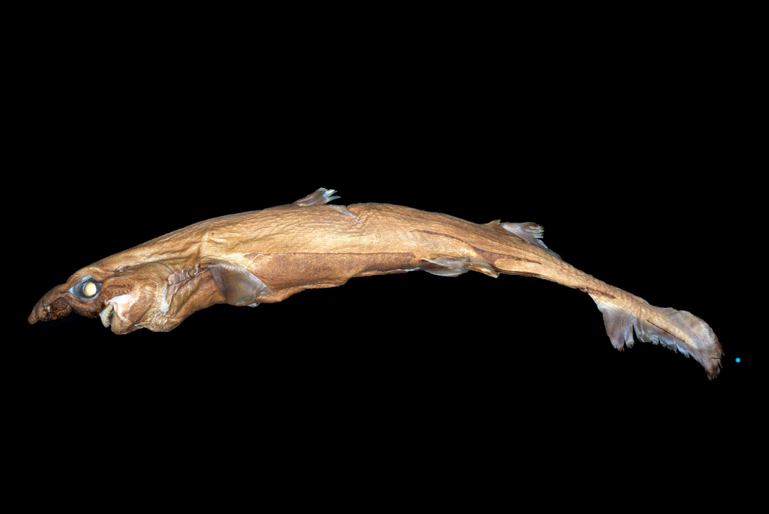 The new species of lanturnshark discovered by Florida Atlantic University researchers.