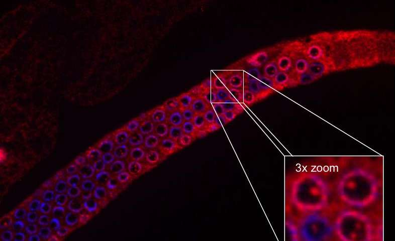 Isolated germ line of C. elegans. Damage to DNA induces formation of UFD-2 complexes in C. elegans, and a choice between DNA repair and cell death is made. UFD-2 is in red, the DNA is in blue. / Credit: Leena Ackermann