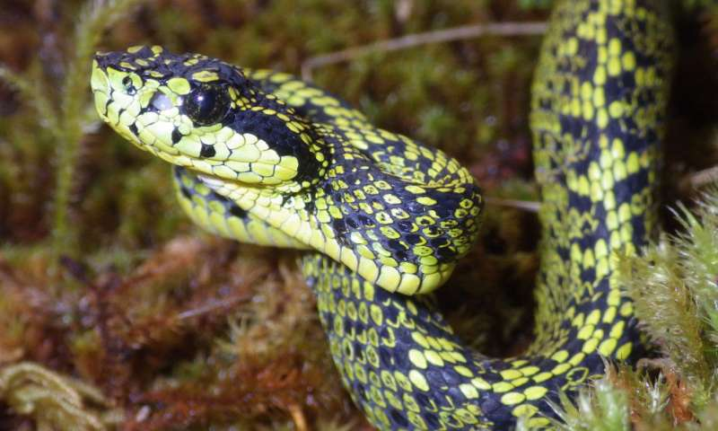The Talamancan Palm-Pitviper has long been misidentified as a Black-Speckled Palm-Pitviper.