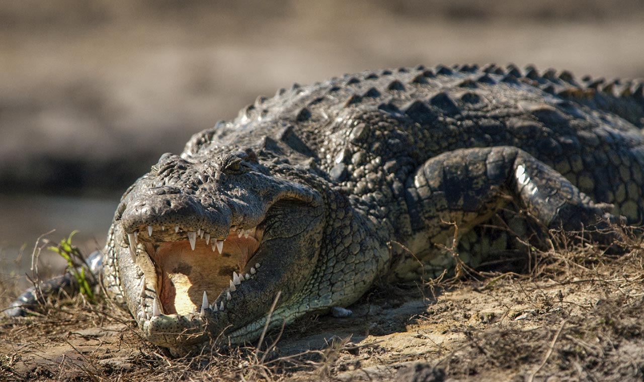 Three nile crocodiles have been discovered and captured in Florida and more are expected to exist in the wild.