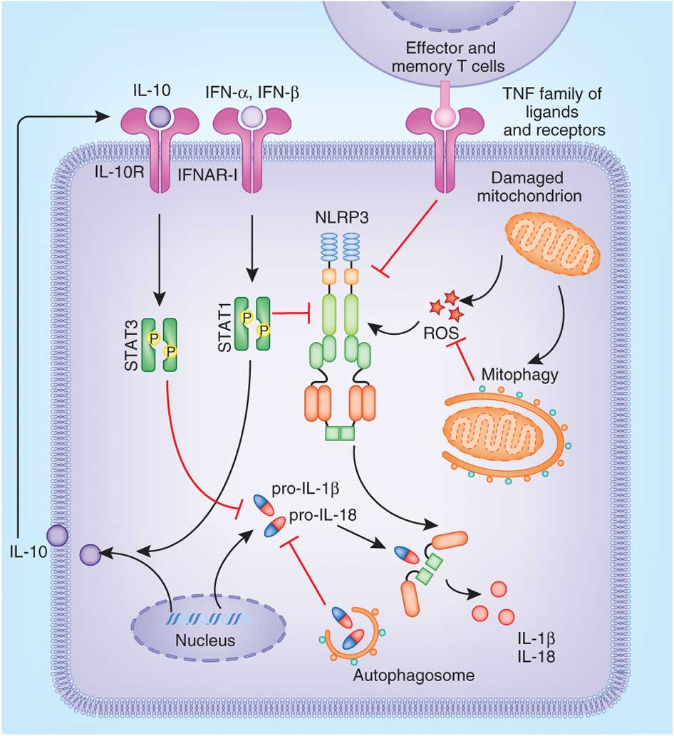 regulation of the NLRP3 inflammasome pathway