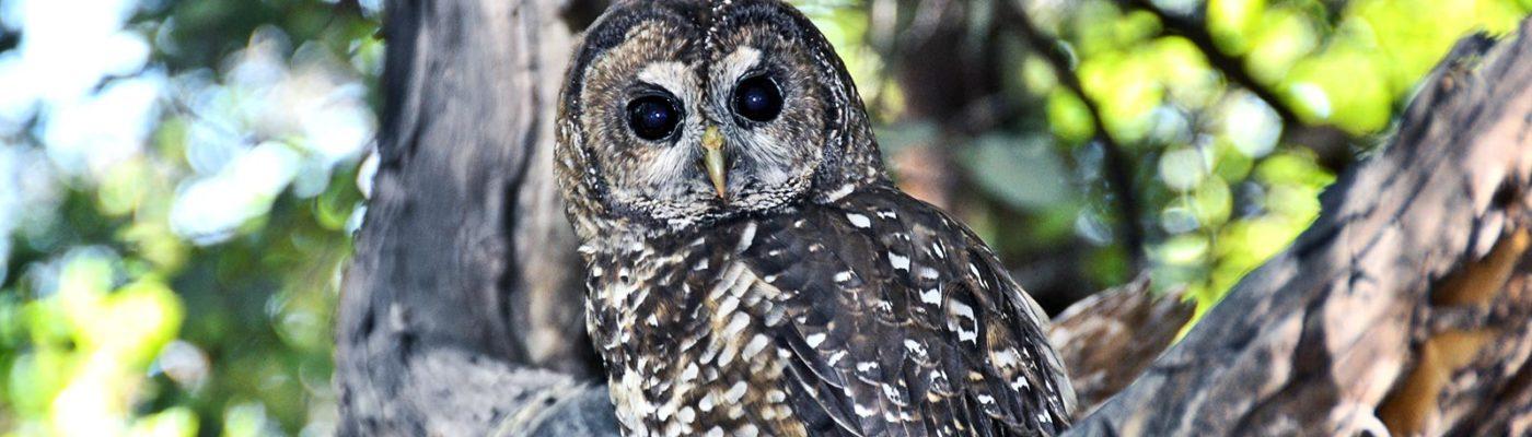 Northern spotted owl. Credit: J. Mark Higley/Hoopa Tribal Forestry via UC Davis
