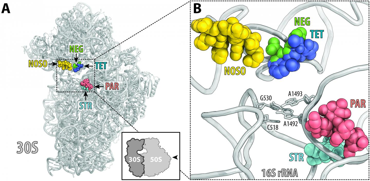 ODLs (yellow) bind to a site on the ribosome not used by other antibiotics. Location of this site is shown here relative to the sites of other known antibiotics, such as negamycin (green), tetracycline (dark blue), aminoglycoside antibiotic paromomycin (red) and streptomycin (light blue). / Credit: UIC/Yury Polikanov, et al