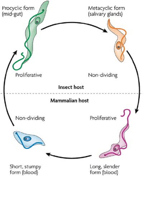 In order to survive and complete their life cycle, parasites must be able to switch genes on and off depending on whether cells want to divide or differentiate.