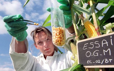 A scientist collecting corn kernel samples for testing. (tuttogreen)