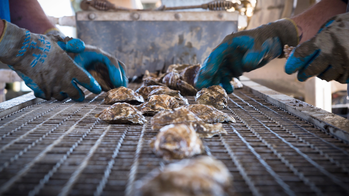 Oyster farming is under siege from ocean acidification. Photo: NPR