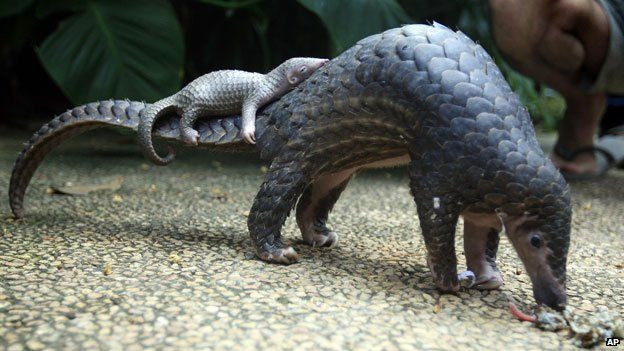 A mother and baby pangolin