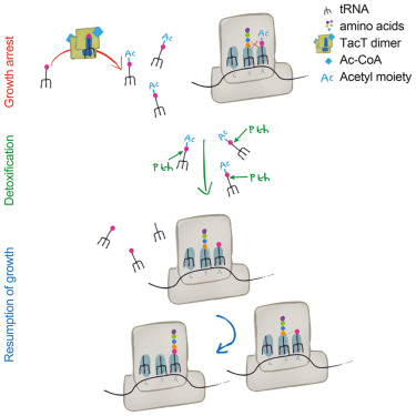 A Salmonella Toxin Promotes Persister Formation through Acetylation of tRNA / Molecular Cell 2016 Cheverton et al
